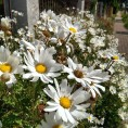 flowers-henley